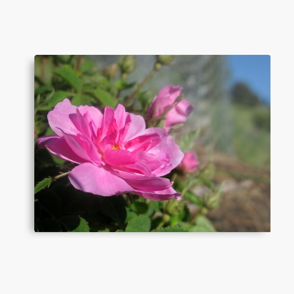 My Oh My - A Pink Rose Beauty Metal Print