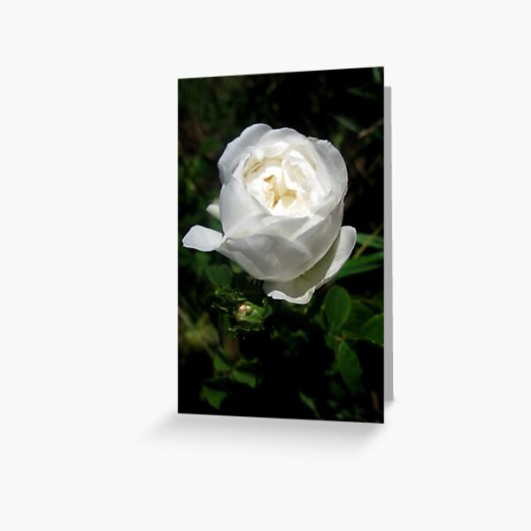 Pure White Beauty Greeting Card