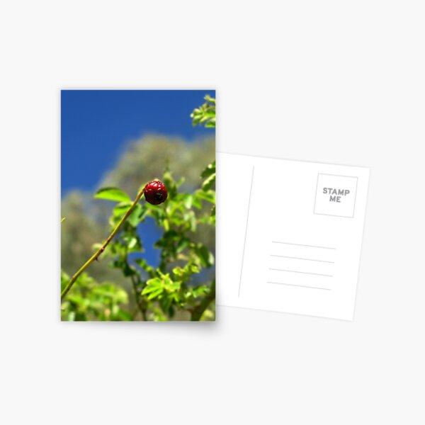 Rose Hip Bud Postcard