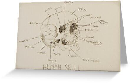 Menschliche Schädel-Anatomie\