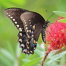 Black Swallowtail by Bob Hardy