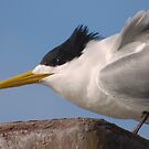 Crested tern (Thalasseus bergii) - Penneshaw, Kangaroo Island, South Australia by Dan & Emma Monceaux