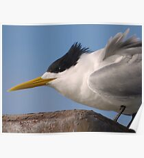 Crested tern (Thalasseus bergii) - Penneshaw, Kangaroo Island, South Australia Poster