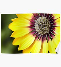 Yellow Osteospermum - Macro Flowers Poster