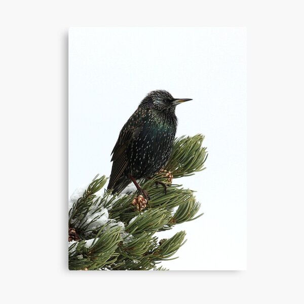Starling In The Snow Canvas Print