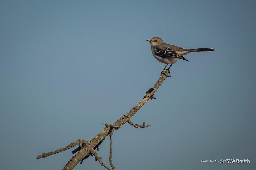 Mimus Polyglottos - Northern Mockingbird | Hampton Bays, New York by © Sophie W. Smith