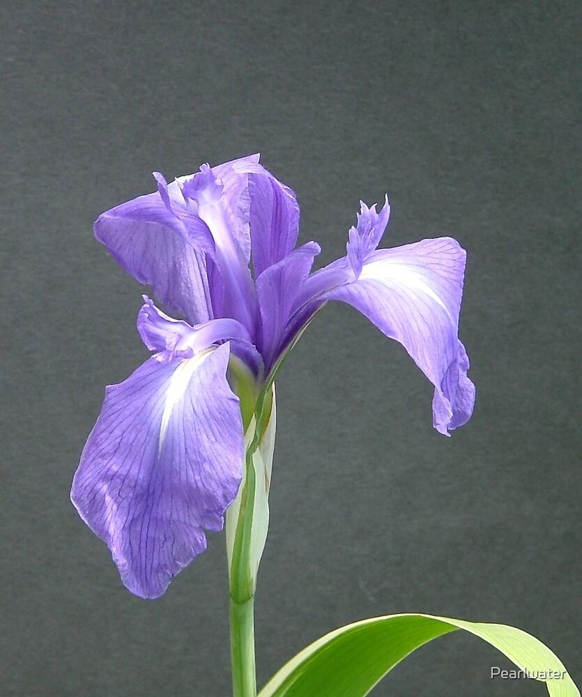 Blue Water Iris by Chris Quinlan