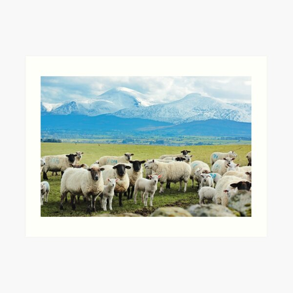 Ewes, Lambs and the Mournes Art Print