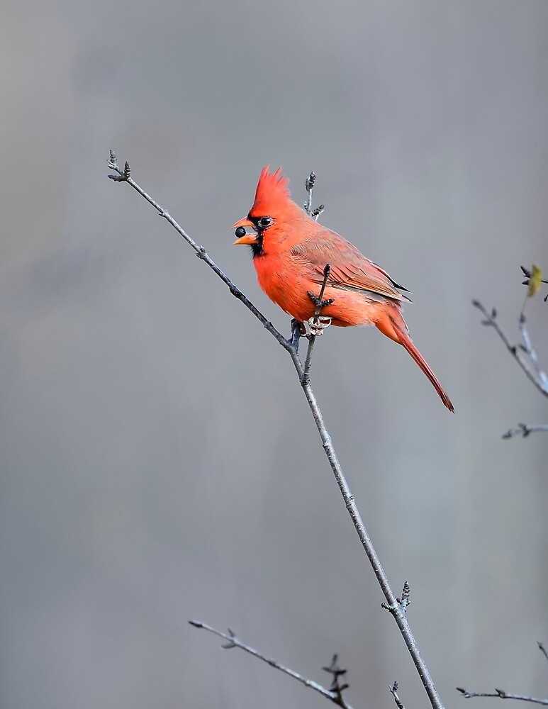 Male Cardinal Eating a Berry by justinrusso