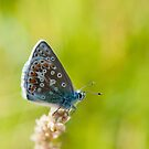 Common Blue Butterfly by M S Photography/Art