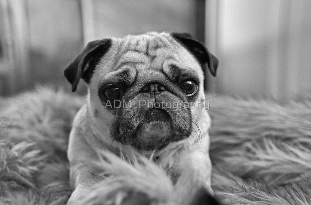 Black and White Pug by Amber D Hathaway Photography
