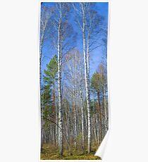 Tall birch Poster