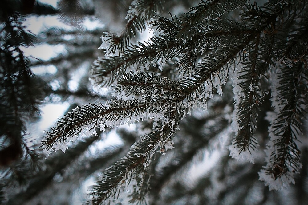 Frost on Pine Trees by Amber D Hathaway Photography