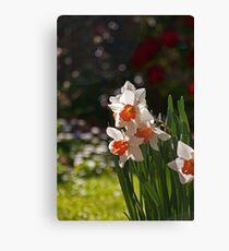 Daffodil Bokeh Canvas Print