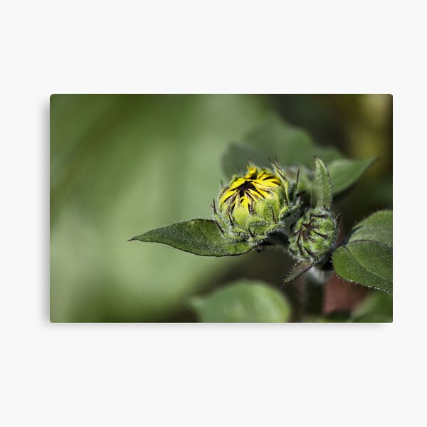Sunflower About To Bloom Canvas Print