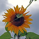 Heart of a Sunflower by Terri~Lynn Bealle