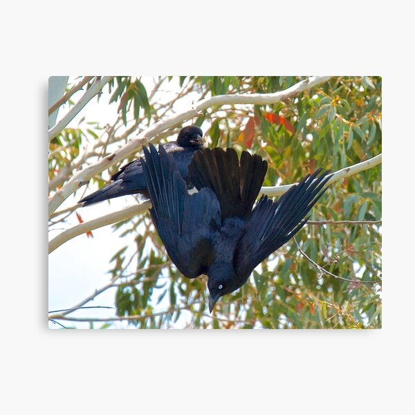 RAVEN ~ Forest Raven Y6Y748MY by David Irwin Canvas Print