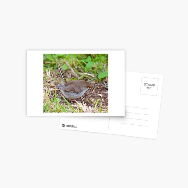 WREN ~ Superb Fairy-wren MXVpni3g by David Irwin Postcard
