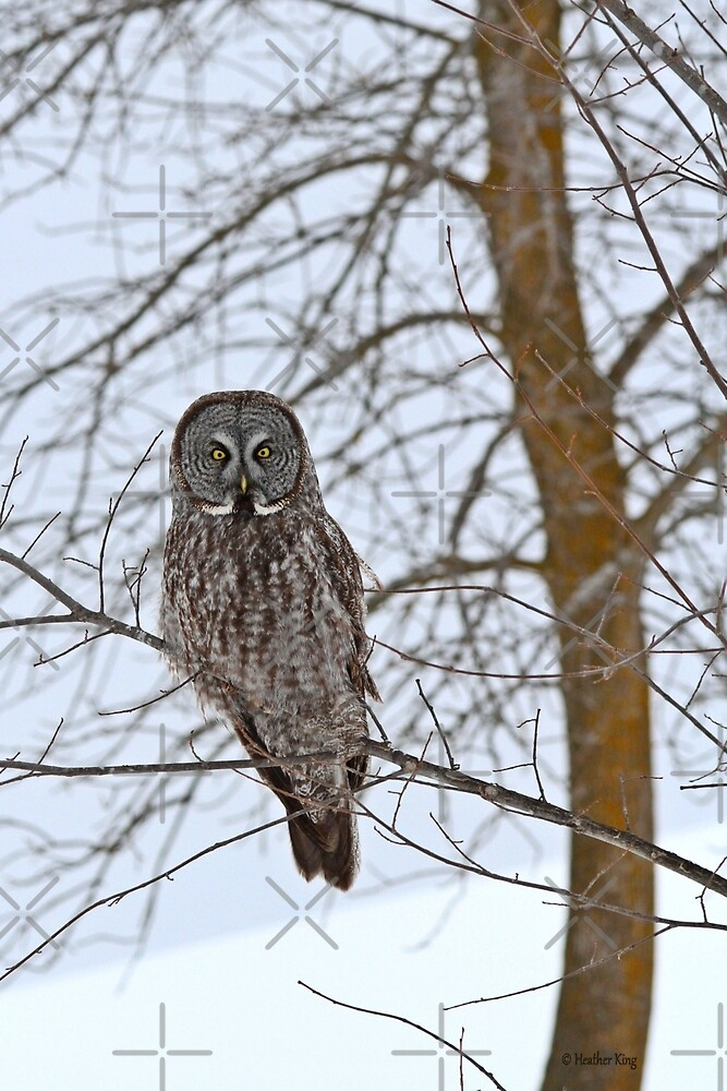 Great Gray Owl, your news and weather at 11 by Heather King