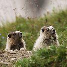 Marmot young (Marmota caligata) by Marty Samis