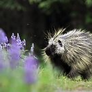 Porcupine in Lupin by Marty Samis