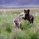 Arctic foxes at play by Geraldine Lefoe