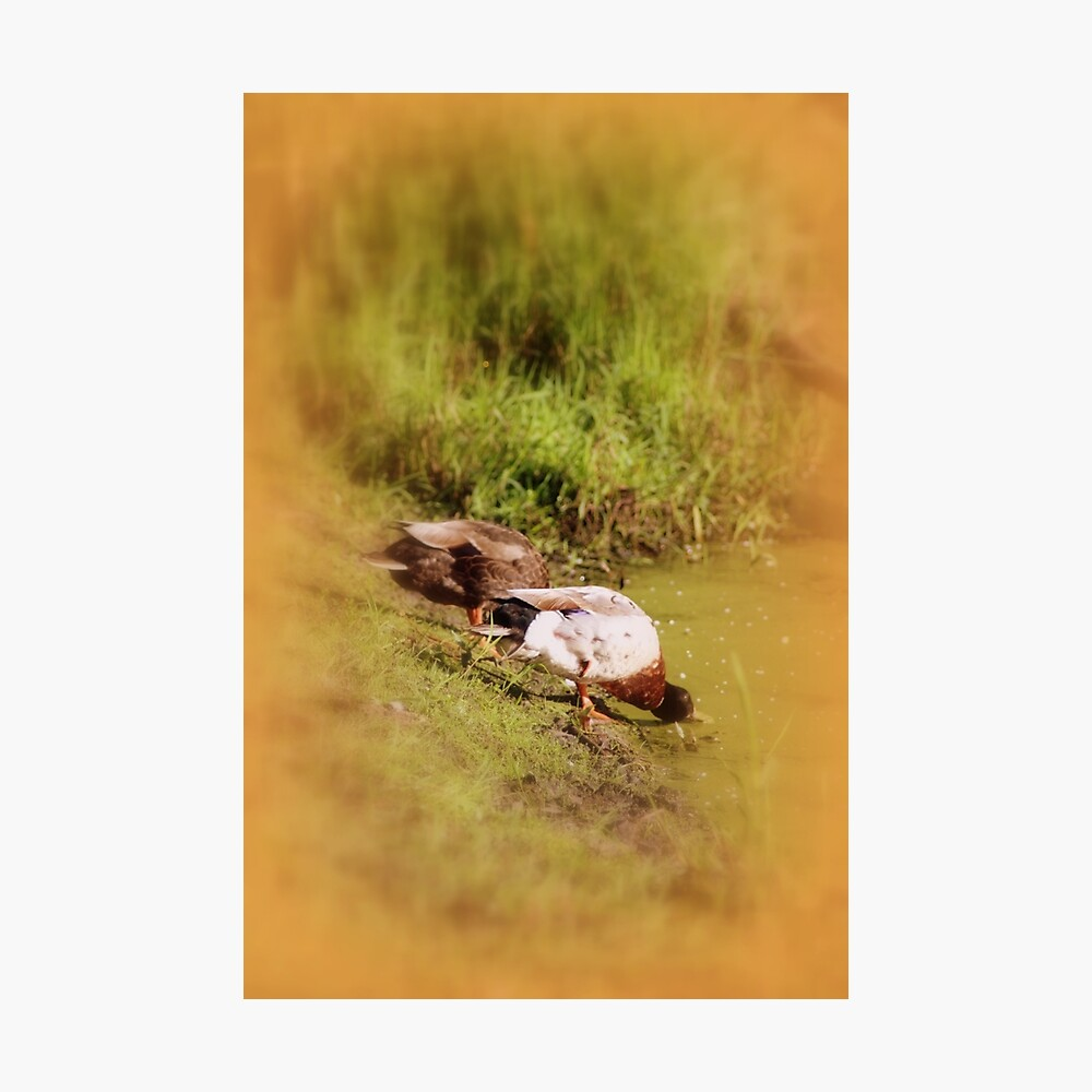 ducks feeding at Trojan pond, near Goble, Oregon Photographic Print