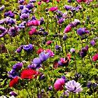Anemone's everywhere by Karen Tregoning