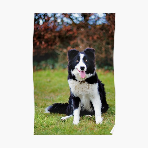 Teddy the Border Collie Poster