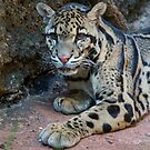 The Elusive Clouded Leopard by S. Daniel McPhail