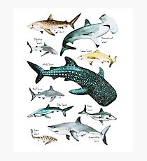 Shark Species Graphic 10 different Sharks on One Print Photographic Print