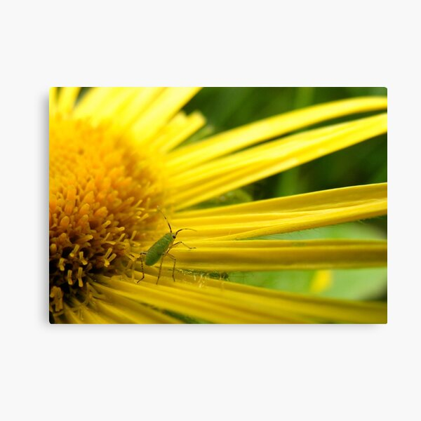 Aphid on Petals Canvas Print