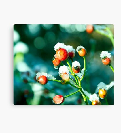 Rose Hips in winter Canvas Print