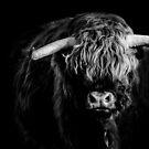 Highland Cattle - Bull On Black by George Wheelhouse