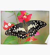 Lime Swallotail (Papilio demoleus linnaeus) Poster