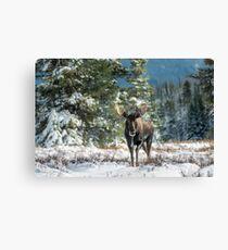 Canadian Western Bull Moose Canvas Print