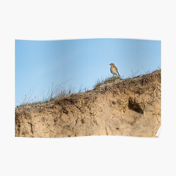 Northern wheatear on top of a dune Poster