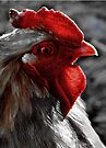 Red Rooster color select by Beth Brightman