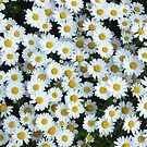 Daisy by jihyelee