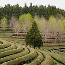 Green tea plantation by jihyelee