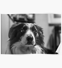 intense look of a border collie Poster