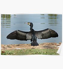 Great Cormorant Poster