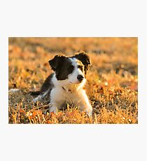 Border Collie puppy in nature Photographic Print