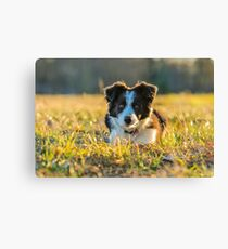 Border Collie puppy in nature Canvas Print