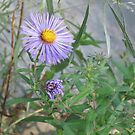 Purple aster, past and present by Ray Vaughan
