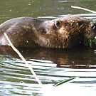 Resident beaver in Greenbelt Lake by nealbarnett