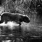 Brown Roan Italian Spinone Dog in Action by heidiannemorris