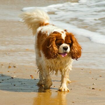 King Charles on the beach by Kawka