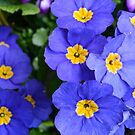 beautiful blue garden flowers by naturematters