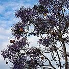 Jacaranda by geof